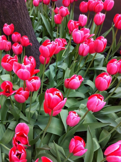 Pink tulips near Park Avenue Photo credit: nishaksquared