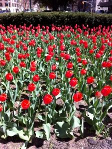 Last year's tulips.